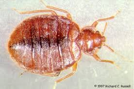 Can Bed Bugs Live In Water Bedbugs