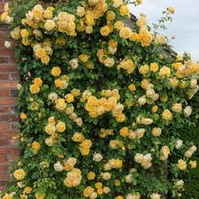 graham thomas climbing roses type