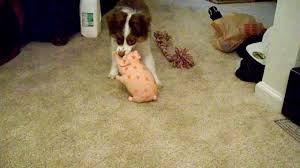 australian shepherd 9 months old 3 month old miniature aussie bailey playing with her pig