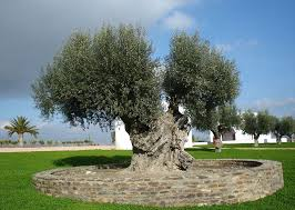 olive tree pictures general information on olive trees