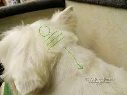 images of westie hair cuts pet grooming the good the bad the furry pet westie cut