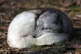 arctic fox facts and adaptations vulpes lagopus alopex lagopus