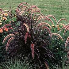 purple grass buy best prices