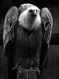 Seeking Vulture Act 4 3 Macduff Compares Malcolm To A Vulture Malcolm Is