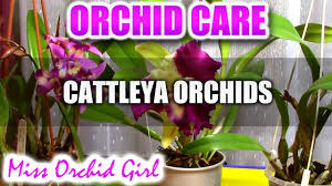 cattleya orchids orchid care how to care for cattleya orchids watering
