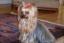 yorkie haircuts for a silky coat biewer terrier appearance grooming