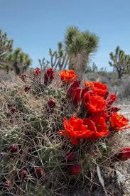 mojave desert native plants 191 best cacti plants trees desert images on pinterest cactus
