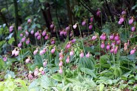 slipper flower is the slipper flower endangered slipper facts new