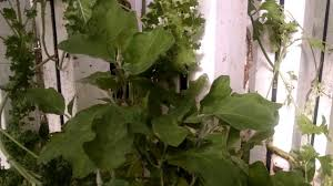 8 foot long kale plant aquaponics in double harbor freight