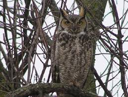 bird sounds and call of the great horned owl the farmer s