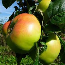 buy apple trees late storing crj fruit trees nursery uk