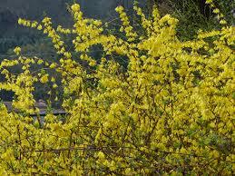 yellow flowers yellow flowers bagni di lucca