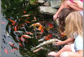 what are the most popular types of backyard pond fish premier