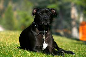 american pitbull terrier dog images pit bull terrier temperament u0026 personality