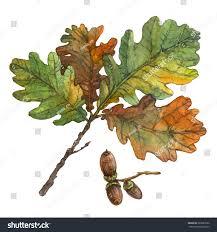 watercolor illustration autumn oak leaves acorns stock