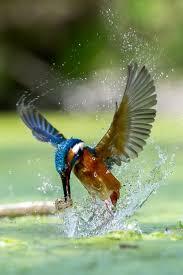 best 25 kingfisher ideas on pinterest kingfisher bird