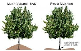 how to properly mulch trees