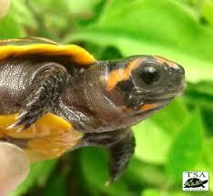 blog turtle survival alliance tsa