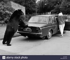 animals bears push paws odin with muriel and her volvo sept