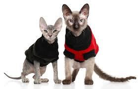 sphynx sweaters 5 things to about donskoy cats petful