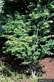 non native invasive plants winged burning bush nonnative invasive plants of southern