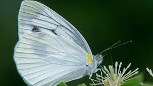 what does a white butterfly symbolize reference com
