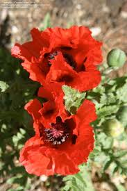 212 best poppy images on pinterest poppy flowers and beautiful