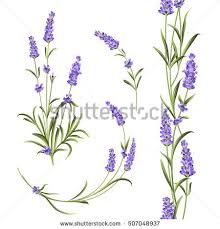 lavender flowers set lavender flowers elements collection lavender stock vector