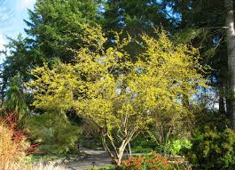 Tree With Bright Yellow Flowers - the 10 most beautiful ornamental trees for your yard the homesource