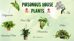 top 16 poisonous house plants for humans and pets