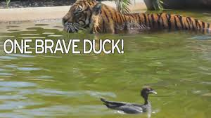 world u0027s bravest duck u0027 goes for a swim with tiger and plays