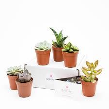 mini plants mini succulent collection 6 plants succulents cacti plants