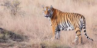 tiger wild for life