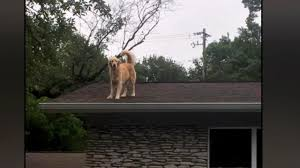 dog named huckleberry becomes star for hanging out on owners u0027 roof