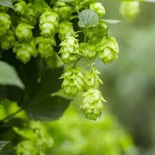 hops one green world