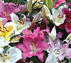 Lily Flower Garden - 1360 best lilies images on pinterest lily flowers and beautiful