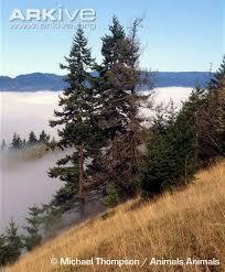 douglas fir photos and facts pseudotsuga menziesii arkive