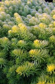 native canadian plants 43 best calside images on pinterest garden plants flower