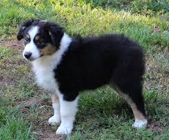 australian shepherd cost windsongk9 u0027s puppies u0026 available
