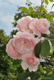 1061 best david austin roses images on pinterest david austin