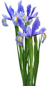 free photo iris plant bulb flower free image on