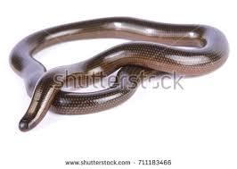 Madagascar Blind Snake Snake Attack Great Lakes Bush Viper Stock Photo 185840132
