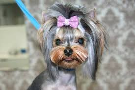 haircut for morkies yorkie haircuts 100 yorkshire terrier hairstyles pictures