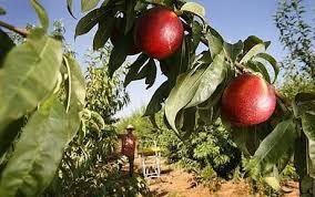 Blackmoor Fruit Trees - how to prune stone fruit trees telegraph