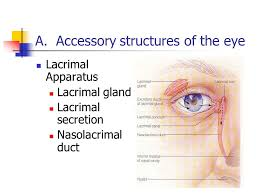 Eye Ducts Anatomy Anatomy U0026 Physiology The Eye Ppt Video Online Download