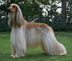 afghan hound king of dogs afghan hound elegant and unique
