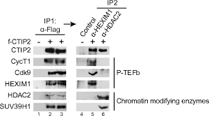 Anti Flag Antibody Ctip2 Is A Negative Regulator Of P Tefb Proceedings Of The