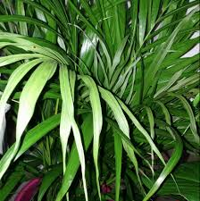 houseplants how should i take care of my new areca palm