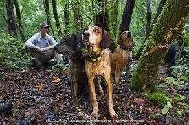 bluetick coonhound climbing tree minden pictures stock photos mountain lion puma concolor