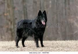 belgian sheepdog history belgian sheepdog stock photos u0026 belgian sheepdog stock images alamy